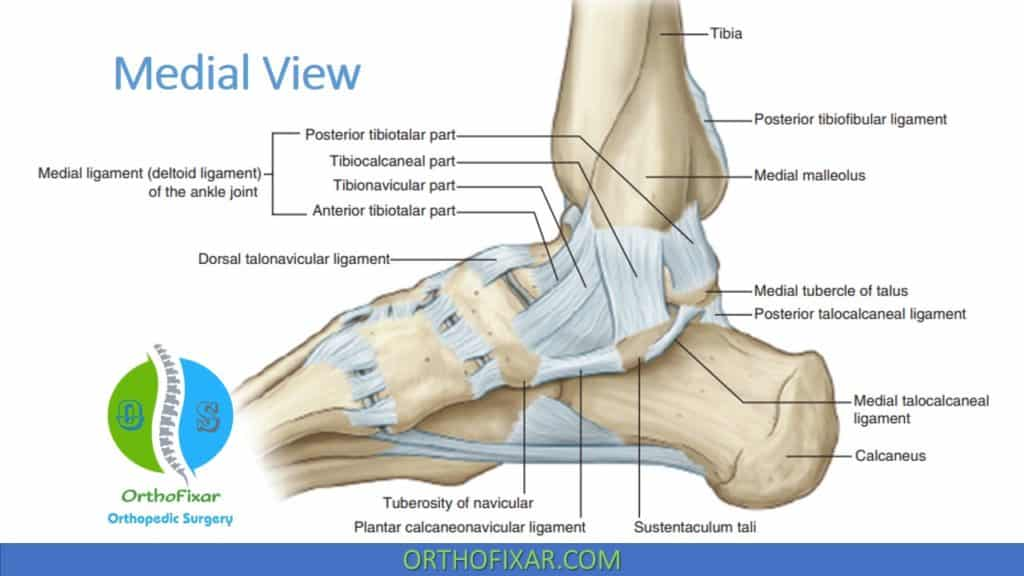 Ankle Medial Ligament Anatomy