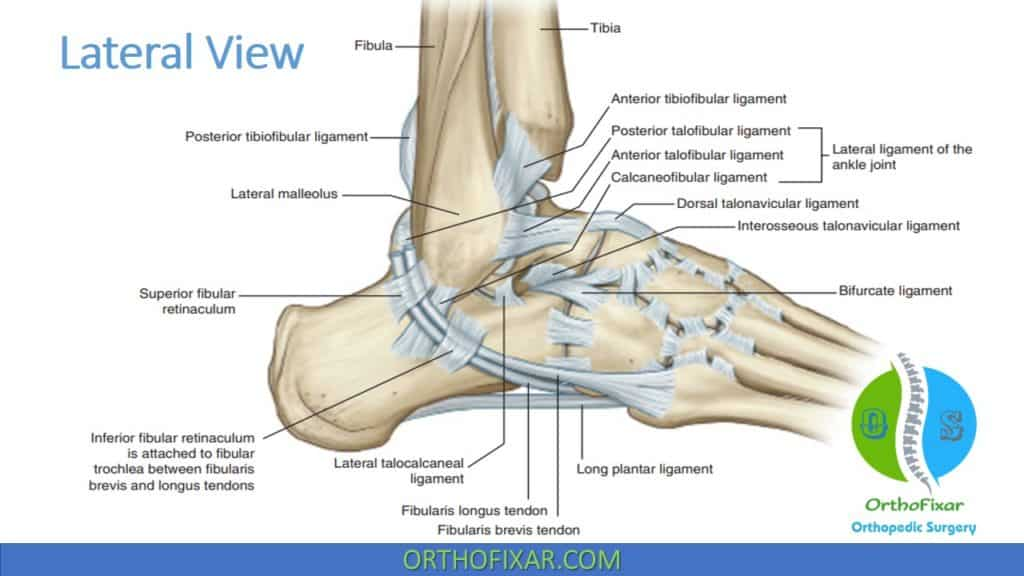 Ankle Lateral Ligament Anatomy