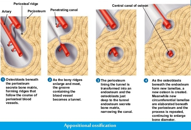 Appositional ossification