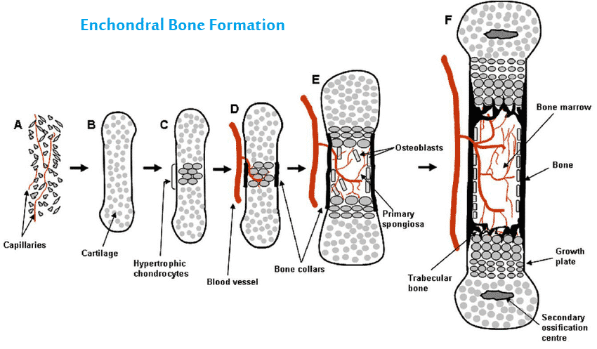 Endochondral Bone Formation