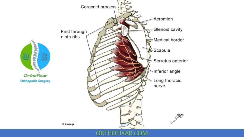 Serratus anterior muscle weakness and Long thoracic nerve Anatomy