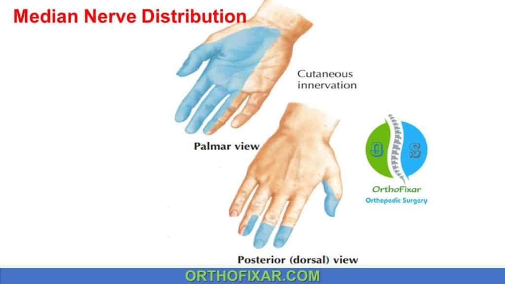 median nerve distribution