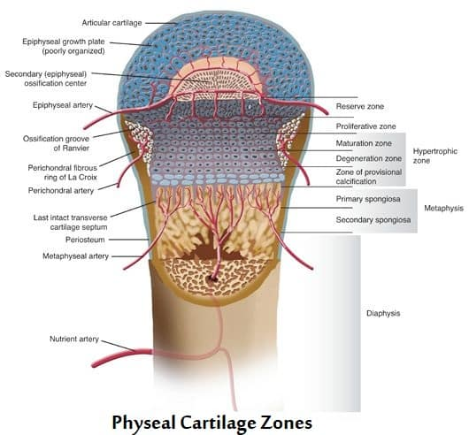 Physeal Cartilage Zones
