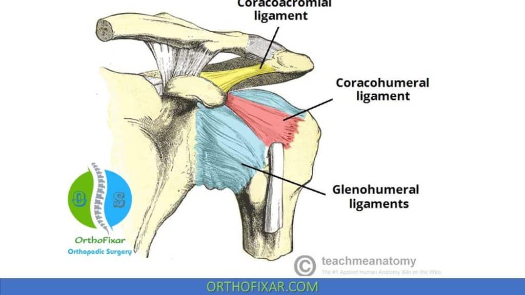 shoulder ligaments anatomy