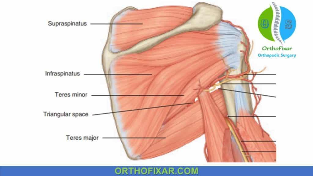 teres minor anatomy